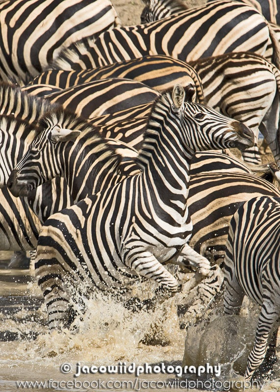 Zebra chaos in Kruger near Satara