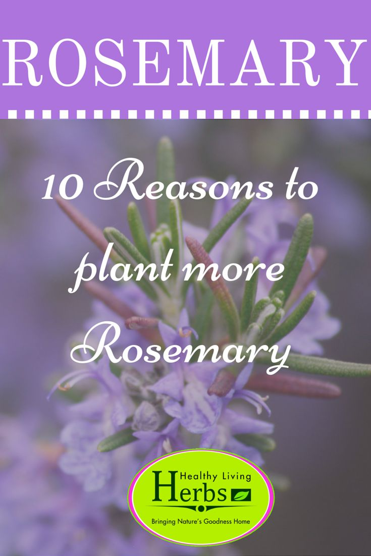 Rosemary It imparts a delicious flavour and aroma to food and is a healing herb for body and soul.