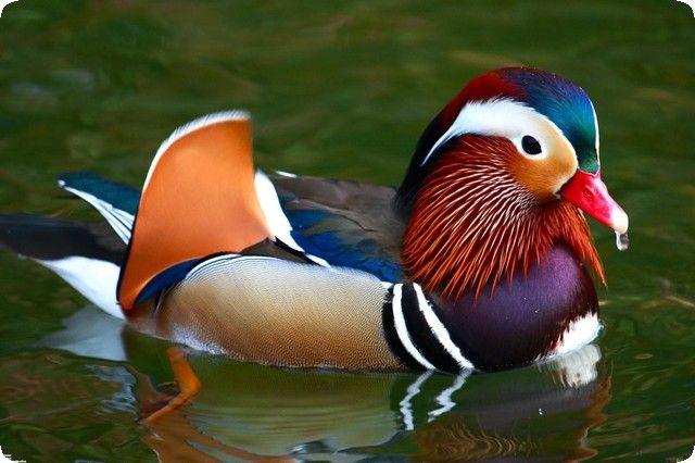 تفسير حلم ذبح البط في المنام البط البط في المنام تفسير حلم البط حلم البط Duck Pictures Mandarin Duck Animals