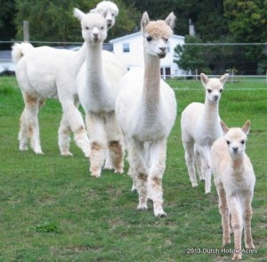 Thinking of starting an alpaca farm... Anyone interested in investing?