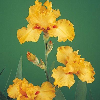 Bearded Iris Avalon Sunset, Iris germanica - Spring Perennials from American Meadows