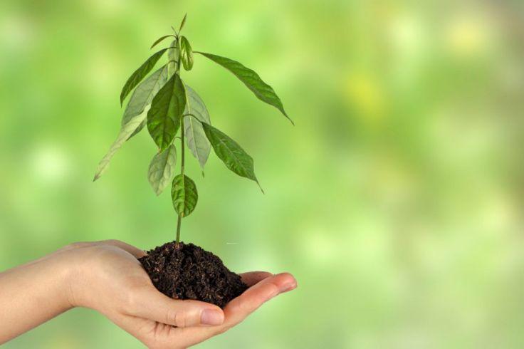 Ein kleiner Avocadobaum bereitet kein Problem der Überwinterung