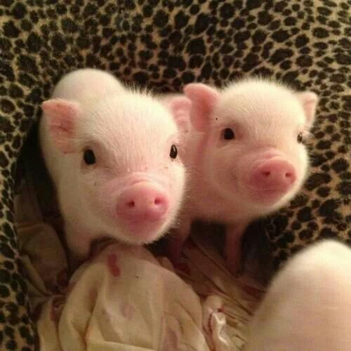 These cute little piggies just make me fuzzy inside.