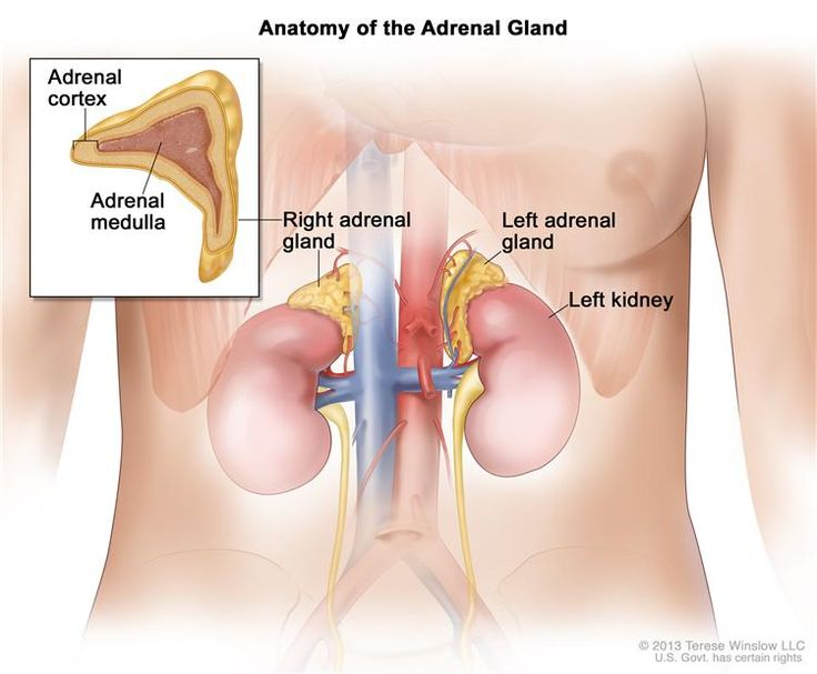 The adrenal cortex makes important hormones that: Balance the water and salt in the body. Help keep blood pressure normal. Help control the body's use of protein, fat, and carbohydrates. Cause the body to have masculine or feminine characteristics. The adrenal medulla makes hormones that help the body react to stress.