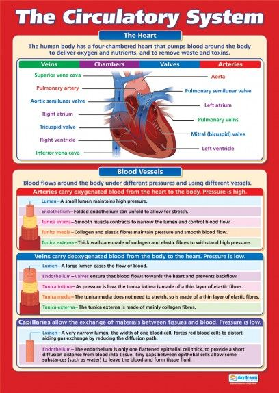 The Circulatory System Poster