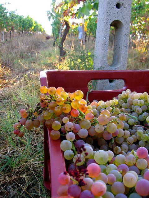 Beautiful Biodynamic grapes from La Maliosa Biodynamic Vineyard in Tuscany | Disciplinare italiano di produzione del vino biodinamico