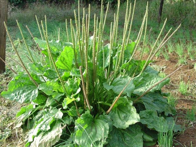 Esta pequeña hierba es uno de los medicamentos más poderosos en el planeta!...Todos ustedes lo tienen en su entrada!!!