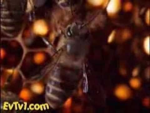 Japanese honeybees protect themselves from hornet invaders by 'swarm roasting'.