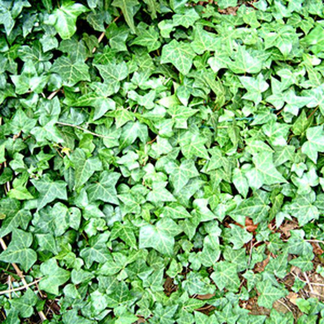 English ivy makes an effective ground cover.