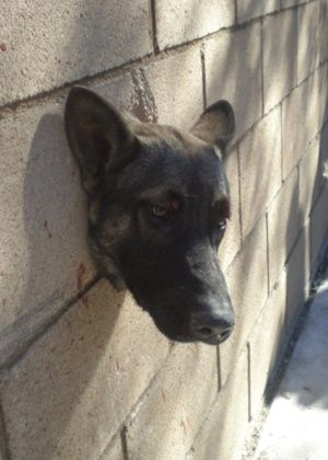 Um filhote de pastor alemão, de oito meses de idade, ficou com a cabeça presa em uma parede de blocos, na cidade de Riverside, na Califórnia, Estados Unidos. Após uma hora, os policiais finalmente libertaram o cachorro