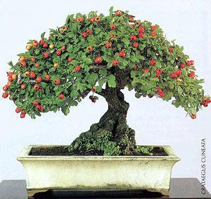 Bonsai - Espino de China http://fichas.infojardin.com/bonsai/crataegus-cuneata-espino-de-china-bonsai.htm