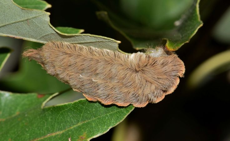#arthropod #asp caterpillar #biology #caterpillar #close up #dangerous #donald trump caterpillar #donald trumps hair #entomology #flannel moth caterpillar #hairy #insect #leaves #macro #megalopyge opercularis #p