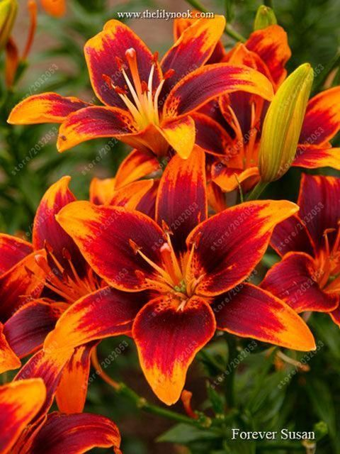 100 pcs/bag perfume lily seeds, (not lily bulbs), bonsai flower seeds potted pla…