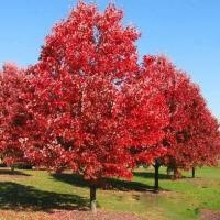 Northern Red Oak - zones 3 to 8, fast growing shade tree, deep red leaves in autumn