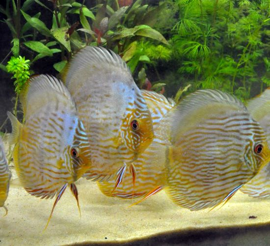743 best images about discus co on pinterest cichlids for Discus fish for sale near me