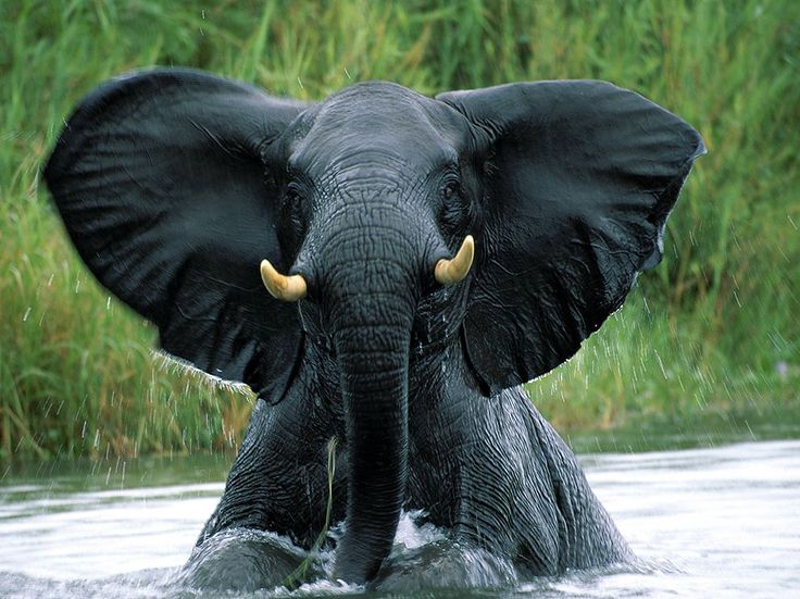 Picture of an elephant emerging from the Shire River, Liwonde National Park, Malawi