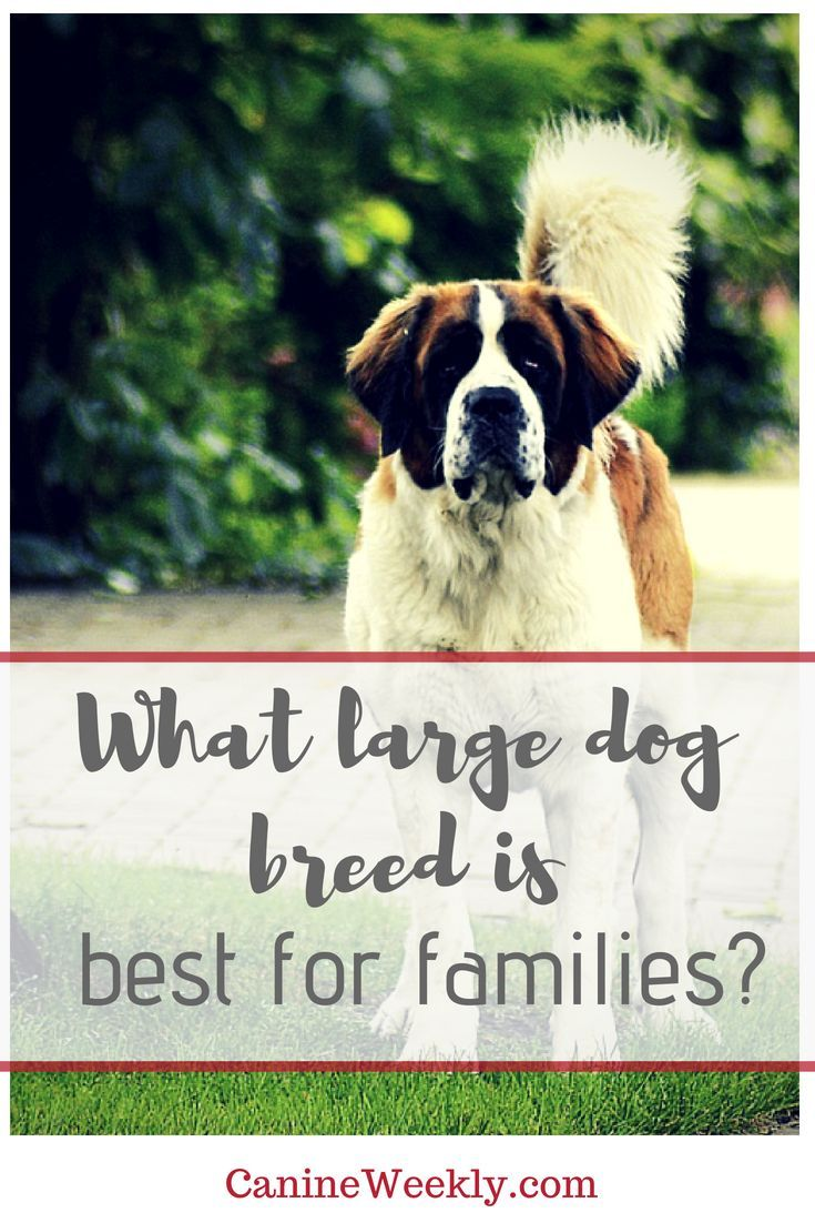 13 Best Big Dog Breeds Top Large Dogs For Families And Kids Big