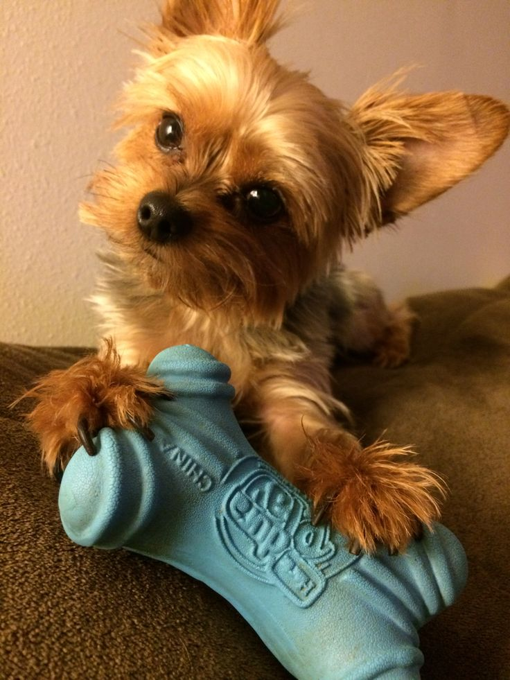 8 Best Yorkie Haircuts Images On Pinterest Yorkie