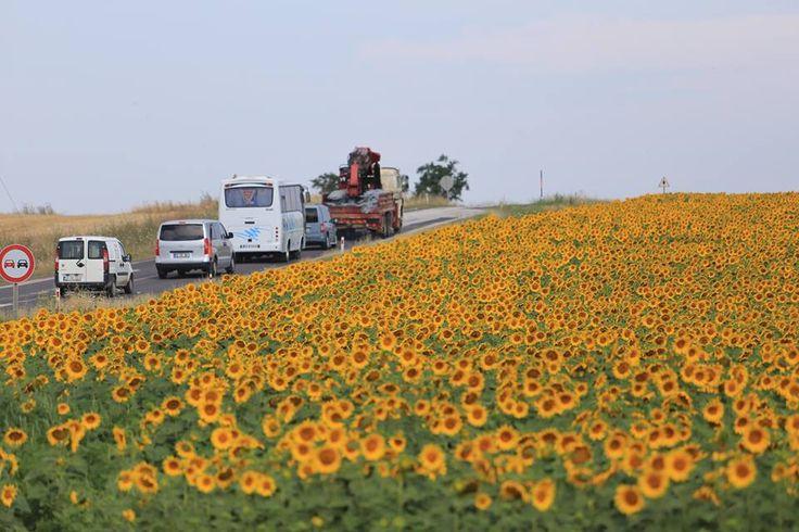 """Sürücülerin renkli yoldaşı: Gündöndüler Trakya yolları arasındaki tarlalardan baş veren, bölgede """"gündöndü"""" diye de adlandırılan ayçiçekleri yolculuklara güzel manzara sunuyor."""
