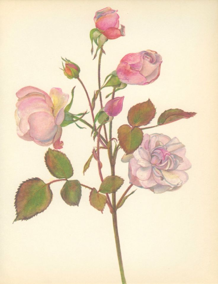 Vintage Rose Print Gruss an Aachen by MarcadeVintagePrints