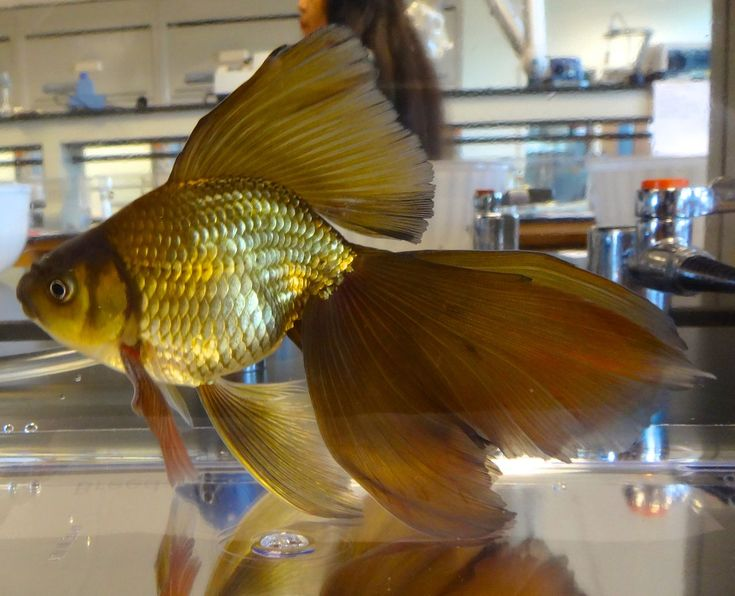 Veiltail Goldfish - Veiltail - Wikipedia, the free encyclopedia