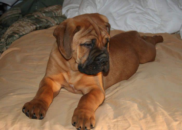 bullmastiff puppy