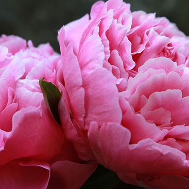 Dr Alexander Flemming Peonies - Peony's Envy
