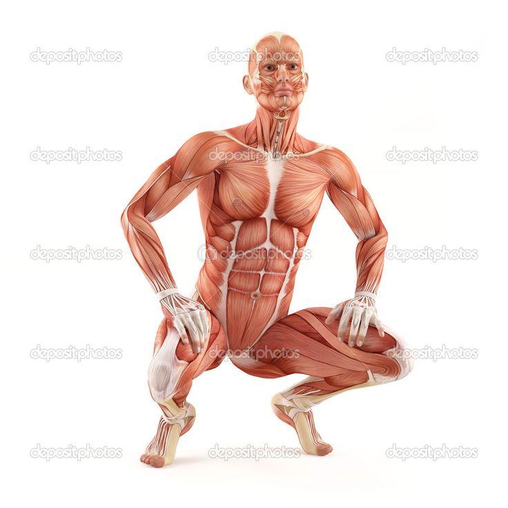 142 best Anatomía muscular/ muscular anatomy images on Pinterest ...