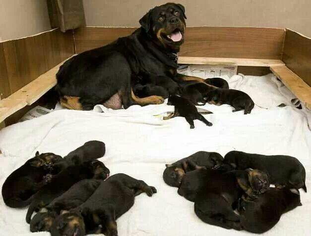 #Rottweiler mom and her newborn #puppies | Rotti Love ...