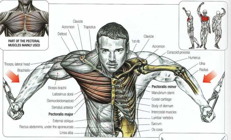 Chest Anatomy Muscle Bodybuilding Poster Anatomy – Google Search   Warrior Fitness