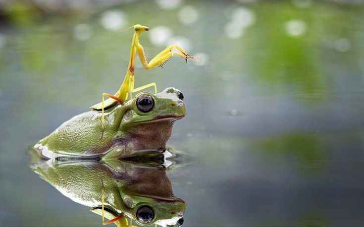 The mantis even appeared to point the way as the unusual duo made their way across the water. According to the photographer, the pond crossing took 10 minutes, with the frog depositing the mantis safely on the other side.