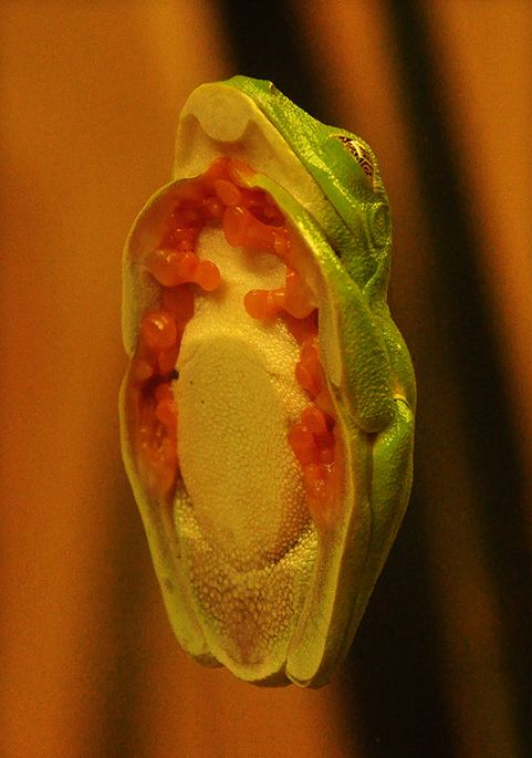 This is the famous glass frog, who went through a long evolutionary process after spending too much time on windows.  Anybody believe that?