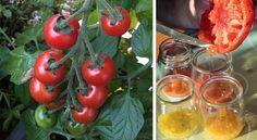 Comment récolter les graines de tomates pour pouvoir les replanter l'an prochain…