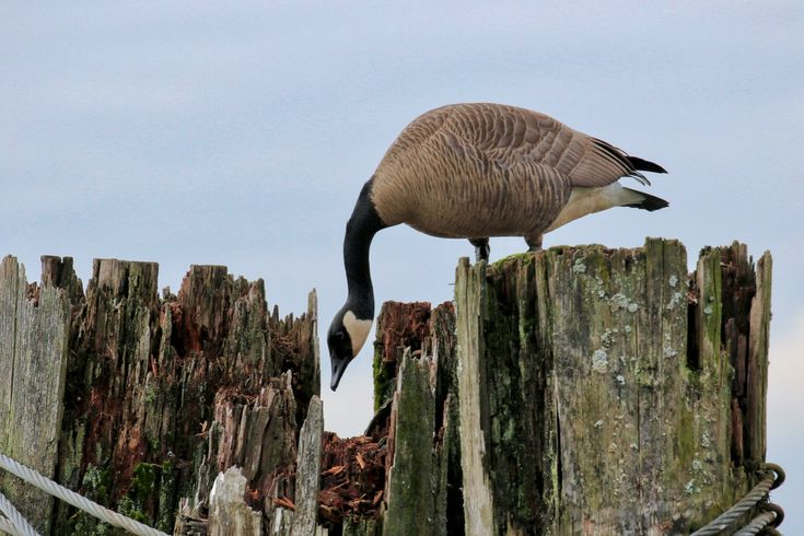 Canada Goose makes a nest on top of a piling in the Fraser River. Click image to enlarge.