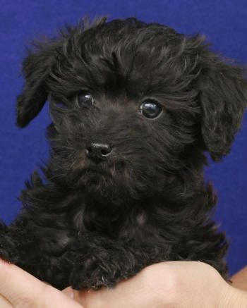 Schnoodle-this might have to be my next fur baby!!! Oh how cute....I think Chloe needs a little brother....