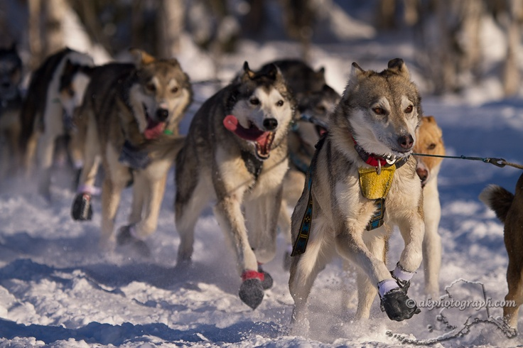 1000+ images about Iditarod Sled Dog Race on Pinterest ...