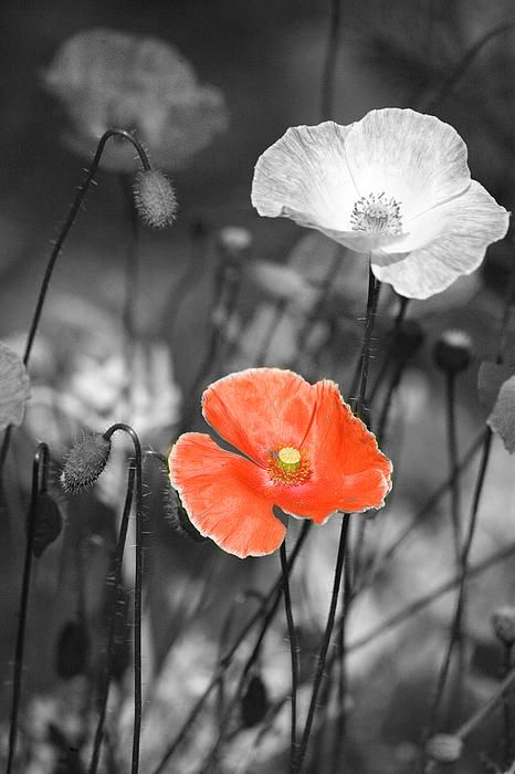 One red poppy photograph by bonnie bruno one red poppy fine art prints and posters for sale find this pin and more on pop of color