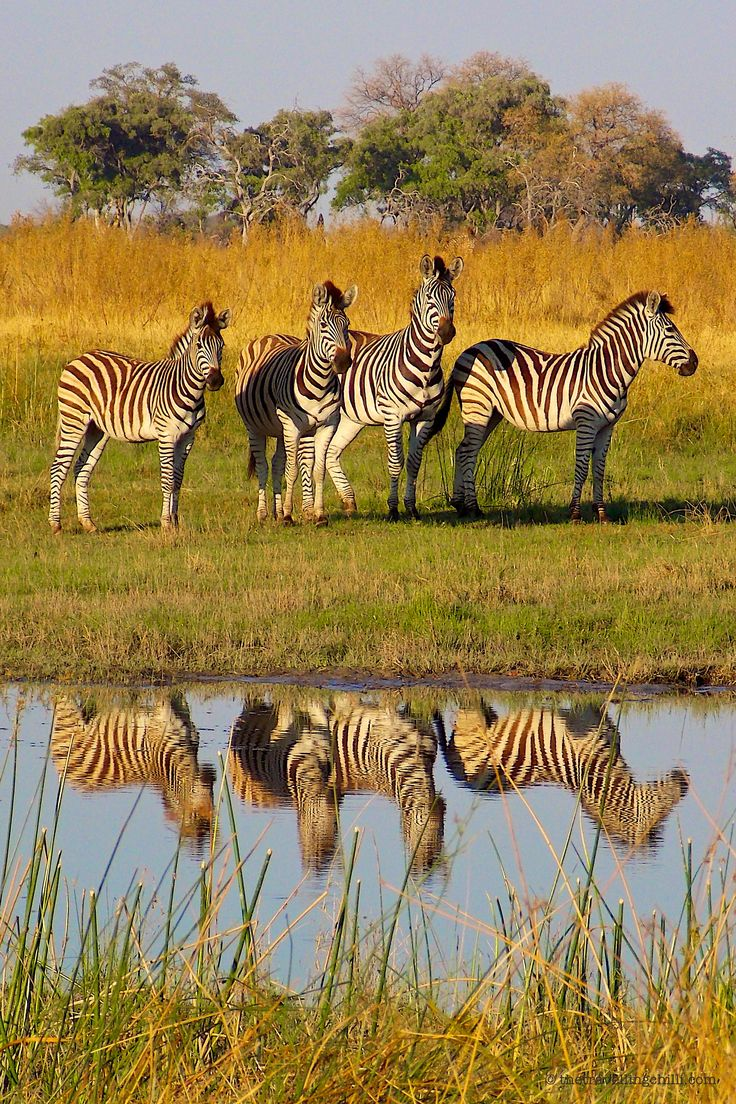 Zebra in the Okavango Delta in Botswana - find out why it's a unique travel destination
