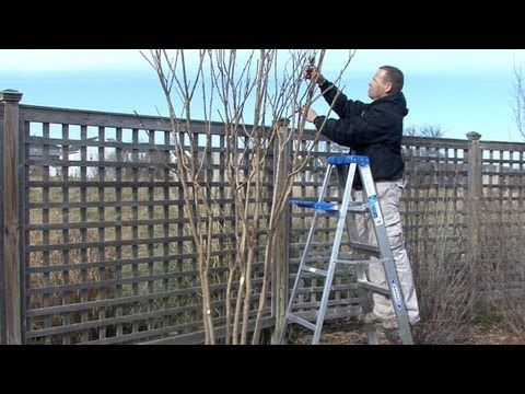 Jeff Lange shows you how to prune your Crepe MyrtleTo view over 15,000 other how-to, DIY, and advice videos on any topic, visit http://www.monkeysee.com/