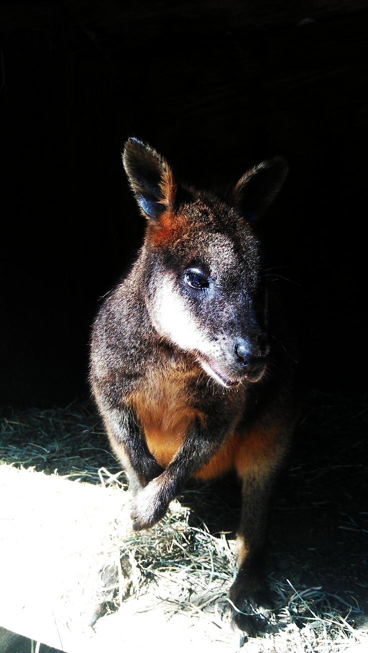 Kangaroo from outback kangaroo petting zoo zoo animals