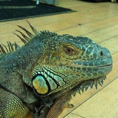 14 Best Iguanas Images On Pinterest