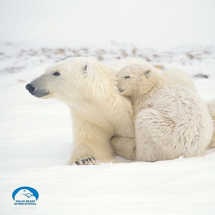 Our Goal Is To Sustain A Future For Polar Bears In The Arctic