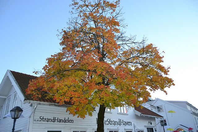 A beautiful tree with Autumn colors in idyllic Lillesand in Southern Norway.  Photo: Elisabeth Høibo©Visit Southern Norway