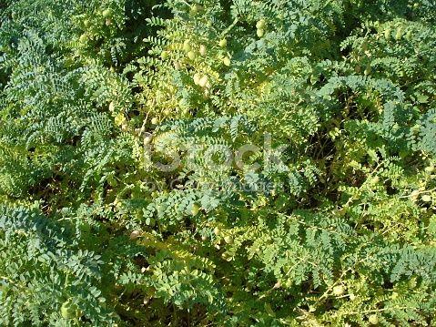 Chickpea plant - senescence - grains - pods