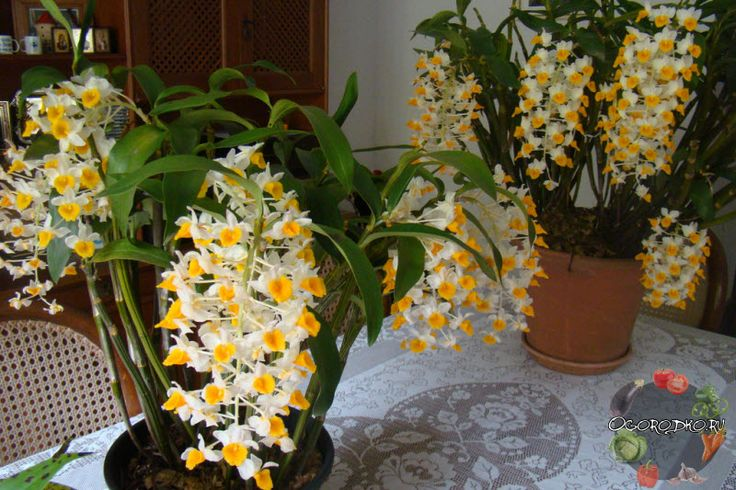 Орхидея Дендробиум – уход в домашних условиях, как заставить цвести, как реанимировать, что делать после покупки, подкормка, размножение и пересадка, особенности полива