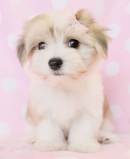 havanese puppies  | havanese puppy, havanese puppies, havanese puppies for sale, havanese ...
