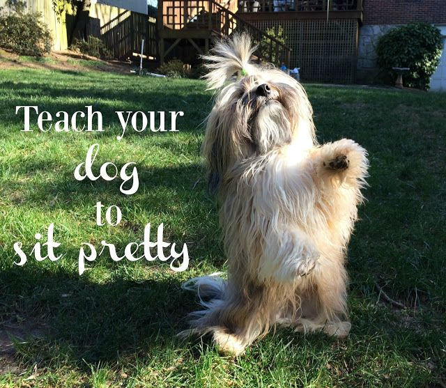 Learn how to teach your dog to Sit Pretty! It's an adorable trick and a great exercise to keep your dog in condition, too! #dogtricks