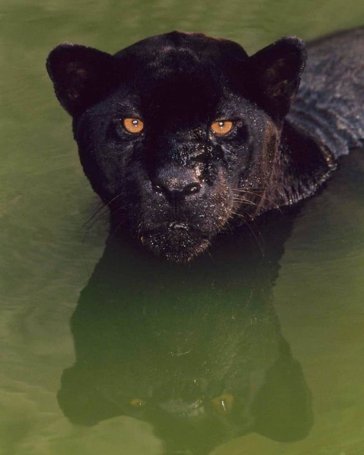 A black jaguar (Panthera onca) crouches in a pool of water in Brazil. Black jaguars are also called black panthers, which is an umbrella term for any big cat with a black coat.