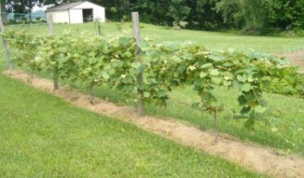 Great How To for growing grapes, including how to set up a trellis system. A healthy growing grape arbor