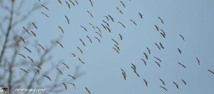 Migration des grues dans le ciel orléanais...